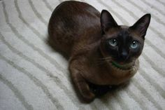 Siamese Cats Applehead Tonkinese (this looks like my little Tonk dude only with different eyes! Tonkinese Kittens, Siamese Cats, Cats And Kittens, Bengal Cats, Kitty Cats, Bad Cats, Crazy Cats, Burmilla Cat, Domestic Cat Breeds