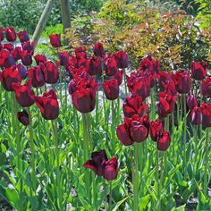 1000 bilder zu tulpen tulipa fr hlingsgarten auf. Black Bedroom Furniture Sets. Home Design Ideas