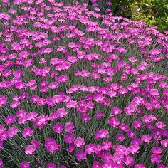 Dianthus 'Firewitch', is a perennial dianthus that has heavily silvered lance shaped leaves that are borne densely on short stems. Grows into a dense mat that fills with blooms in spring and sporadica