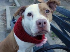 TO BE DESTROYED- 12/31/14 Manhattan Center -P My name is MAMA. My Animal ID # is A1023996. I am a female brown and white pit bull mix. The shelter thinks I am about 3 YEARS old. I came in the shelter as a STRAY on 12/25/2014 from NY 10456, owner surrender reason stated was STRAY.