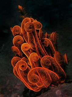 a crinoid/sea lily