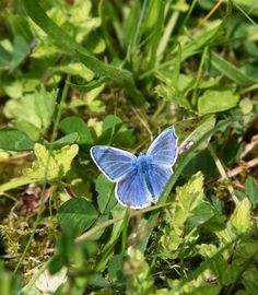 Common blue butterfly - by Carl Stringer
