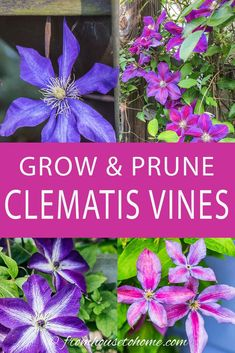 This Clematis care guide is AWESOME! It tells you how to grow Clematis, how to prune Clematis and what varieties will do well in your garden design. Learn all about these perennial vines with beautiful flowers. Flower Garden, Clematis Care, Garden Landscape Design, Invasive Plants, Plants, Flowering Shrubs, Beautiful Flowers, Garden Vines, Garden Landscaping