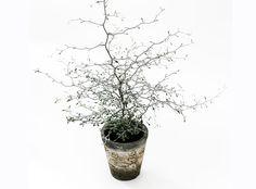 Corokia cotoneaster - blomfakta - Inspiration - Interflora