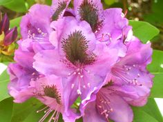 Rhododendron-I really want these!!