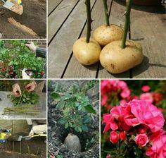 Roses  in potatoes