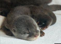 Adorable baby otter photos