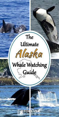 While the nutrient-rich waters of Alaska sustain eight different types of whales, you're more likely to spot humpbacks and orca. Here are the best places to go whale watching in Alaska. Whale Watching Season, Whale Watching Tours, North To Alaska, Visit Alaska, Cruise Travel, Travel Usa, Cruise Tips, Places To Travel, Places To Go