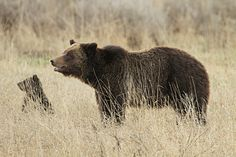 Grizzly sow and cub near Fishing Bridge | Yellowstone National Park, Wyoming (pinned by haw-creek.com)