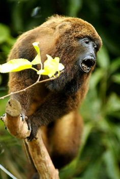 As espécies mais encontradas são os bugios, macacos-prego e sagüis.pantanal