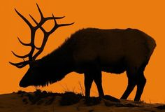 Bull elk in Yellowstone National Park at sunset.... -