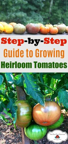 Growing Beautiful Heirloom Tomatoes We grow heirloom tomatoes in our organic garden. Here& the what, why, how, and where about our organic heirloom tomatoes. via The Flip Flop Barnyard (Homesteading - Real Food - Natural Living - Large Family ) Hydroponic Gardening, Hydroponics, Container Gardening, Vegetable Gardening, Indoor Gardening, Flower Gardening, Urban Gardening, Growing Tomatoes In Containers, Growing Vegetables