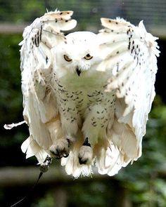 Awesome beautiful owl