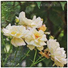 fiori di agosto: Rosa Gruss an Aachen