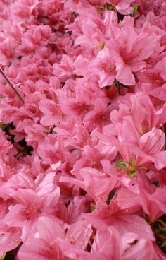 Azaleas - Mobile is known as The Azalea City.  Home to the Azalea Trail Run bringing runners from all over the world.