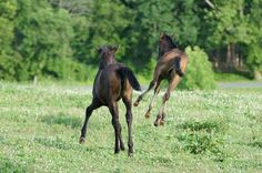 2012 Foals @ JC Andalusians