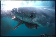 gran tiburón blanco comiendo una presa