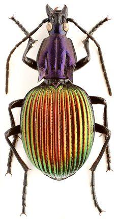 Brachygnathus angusticollis Burmeister | Purely Inspiration