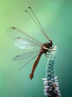 Photograph Owlfly in the blue period by Arief Perdana