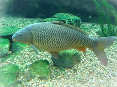 The VLM displays only native fishes and invertebrates - with a few exceptions in the coral reef exhibit - so I exert a great deal of effort . Common Carp, Fish Farming Ponds, Fish Breeding, Fish Feed, Fish Stock, Fish Drawings, Bowfishing, Marine Fish, Pisces