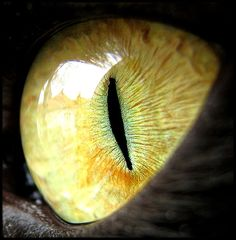 """Finer than any sand are the dusts of gold that gleam; vague star points , in the mystic iris of their eyes."" --Charles Baudelaire- try to draw this Eye Photography, Animal Photography, Crazy Cat Lady, Crazy Cats, Regard Animal, Eye Close Up, Dragon Eye, Eye Art, Beautiful Cats"