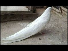 Pigeon Eyes, Pet Pigeon, Fantail Pigeon, Pigeons For Sale, Flying Pigeon, Pigeon Pictures, Pigeon Breeds, Bird Gif, Pretty Birds