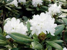 Rhododendron-Boule-de-Neige'Lumipallo' on ollut jo vuonna 1936 Mustilan taimitarhan hinnastossa, jossa lajiketta mainostettiin kauniiksi ja talvenkestäväksi. Pensas on matala n. 1 m korkea ja hyvin tuuhea. Kukkanuput ovat hennon vaaleanpunaiset ja muuttuvat auetessaan valkoisiksi lähes pallomaisiksi. Lajike kukkii aikaisin, jo kesäkuun alussa. Pakkasenkestävyydeksi ilmoitetaan -32°C, joten uskalletaan suositella ainakin Keski-Suomeen saakka.  alppiruusu