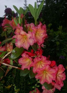Thank you for taking a look at one of our several hundred Hybrid Rhododendrons we have for sale on Etsy and our website! At RhododendronsDirect.com, all we do is Rhododendrons!    Product Description        Bloom Color:  Pink/Orange    Bloom Season:    Mid Season    Plant Height(potential in 10 years): 4 feet    Hardy to: 0 F        Container Size/Age:  Five Gallon Plant -  These rhododendrons are typically rooting into a five gallon container or have spent two or more years as a field grown…