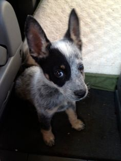 Those ears! I've never met a heeler that didn't have BIG ears! Aussie Cattle Dog, Austrailian Cattle Dog, Border Collie, I Love Dogs, Cute Dogs, Baby Animals, Cute Animals, Cat Years, Puppies And Kitties