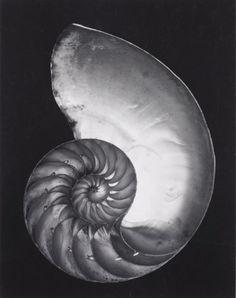Photograph by Edward Weston Nautilus Shell (Cross-section)1927