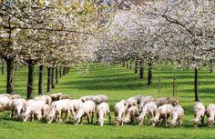 Le travail des moutons fait gagner cent heures de main-d'œuvre et machines par hectare. Et comme ils sont très sensibles au cuivre, l'arboriculteur ne doit jamais dépasser 1,5 kg/ha. Il s'en tient aujourd'hui très loin en dessous avec une utilisation globale de 400 g par an pour les huit hectares concernés par son verger. Quand il le faut, la lutte fongicide cuprique est complétée avec une application de bouillie sulfo-calcique. La mise en place d'un verger plus durable avec les animaux…