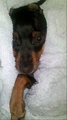 Cozy Mini Pinscher, Miniature Pinscher, Doberman Pinscher, Baby Puppies, Cute Puppies, Dogs And Puppies, Cute Animal Pictures, Puppy Pictures, Pet Dogs