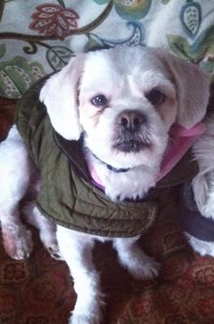 Meet Murphy, Anarchy Animal Rescue, Petfinder adoptable Shih Tzu Dog, Staten Island, NY - Murphy is 3 years old and weighs 16 lbs. He+loves everyone he meets and gets along well with other...