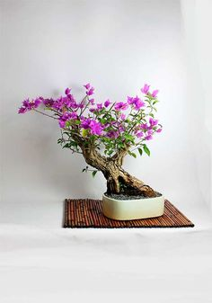 "Bougainvillea Bonsai tree, ""Winter Tropicals Collection by LiveBonsaiTree"" by LiveBonsaiTree on Etsy"