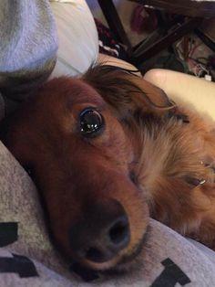 #dachshund #dogs