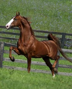 Saddlebreds are a stunning breed. I'd like to learn to ride saddleseat someday...and if/when I do I might just look into spending some time with this breed.