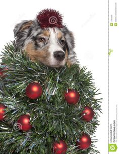 Australian Shepherd dog dressed as Christmas tree, 7 months old, in front of white background Stock Photo Christmas Animals, Christmas Dog, Christmas Ideas, Christmas Cards, Aussie Puppies, Australian Shepherd Dogs, 7 Month Olds, Happy Puppy, Dog Dresses