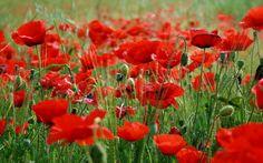 Red Poppy flower field HD wallpaper - Free Image Download - High Resolution Wallpaper