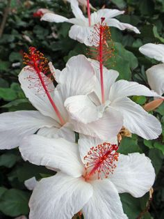 tropical-white Hibiscus white bouganvilla white st Josephs white azalea