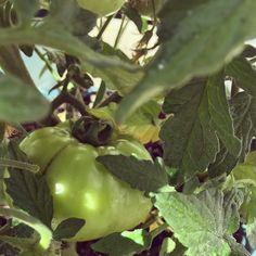 We got a good one!  #tomatoes #earthpix #fresh #sustainable #eatonlywhatyougrow