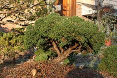 Juniperus communis Echiniformis: This Chinese Juniper has green to blue-green needles.
