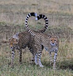 Amazing shots of affectionate Cheetahs with their tails perfectly angled into the shape of a classic heart. Big Cats, Cats And Kittens, Cute Cats, Siamese Cats, Animals And Pets, Funny Animals, Cute Animals, Wild Animals, Baby Animals