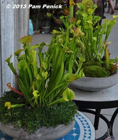 Potted pitcher plants! Flora Grubb Gardens: San Francisco Garden Bloggers Fling | Digging