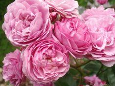'Excellenz von Schubert ' Deep pink Polyantha Rose 1909.