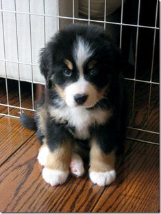 this Bernese Mountain Dog is so cute!