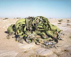 Welwitschia mirabilis vieille de 2 000 ans – Désert du Namib, Namibie. Découvrez les organismes vivants les plus anciens de notre monde