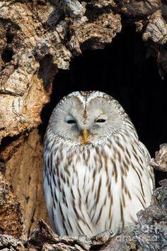 Ural Owl In Japan 2 Photograph