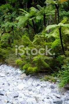 Punga Tree Ferns and Native Bush, New Zealand Royalty Free Stock Photo Maori Words, Abel Tasman National Park, Tree Fern, Kiwiana, Lush Green, Image Now, Ferns, Wilderness, New Zealand