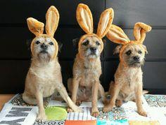 Twitter / LeviMyloCooper: #Easter doggies... ...