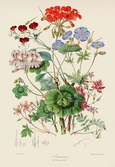 The Geranium Tribe Margins Not Shown but Intact from Original Hand colored Antique Lithographs